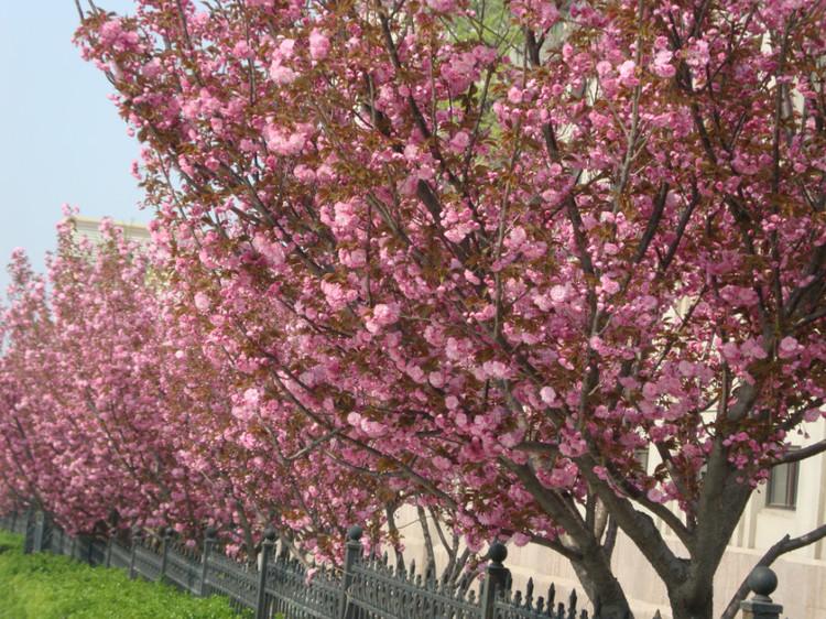 邂逅樱花浪漫时-旅顺樱花园之旅